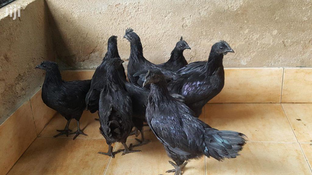 tips pelihara ayam cemani