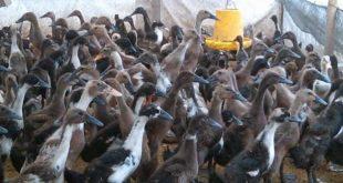 cara merawat bebek yang baik