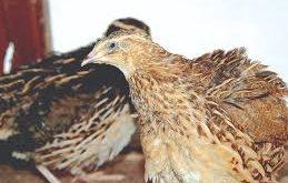 cara ternak burung puyuh pedaging
