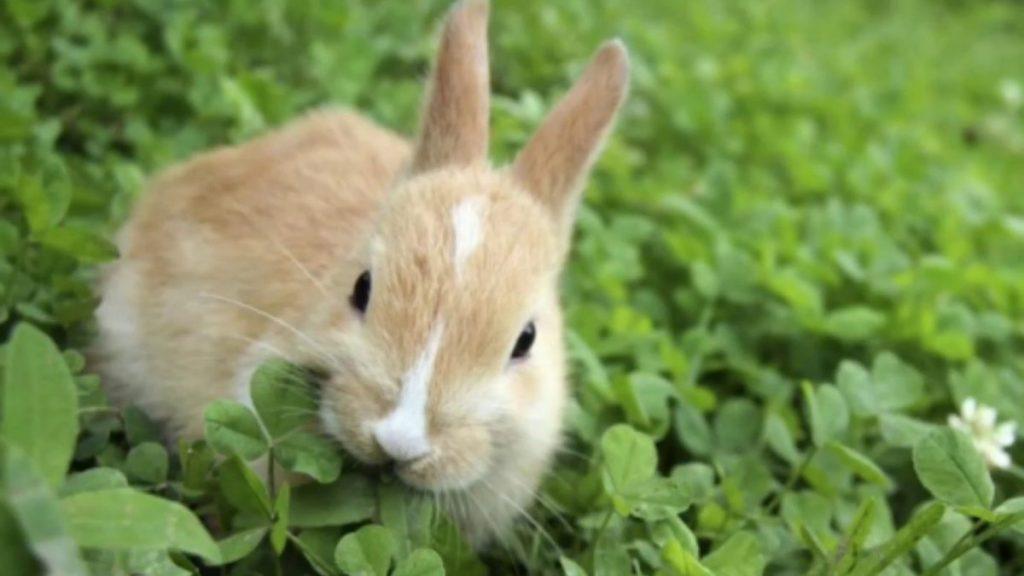 ternak kelinci tanpa ngarit